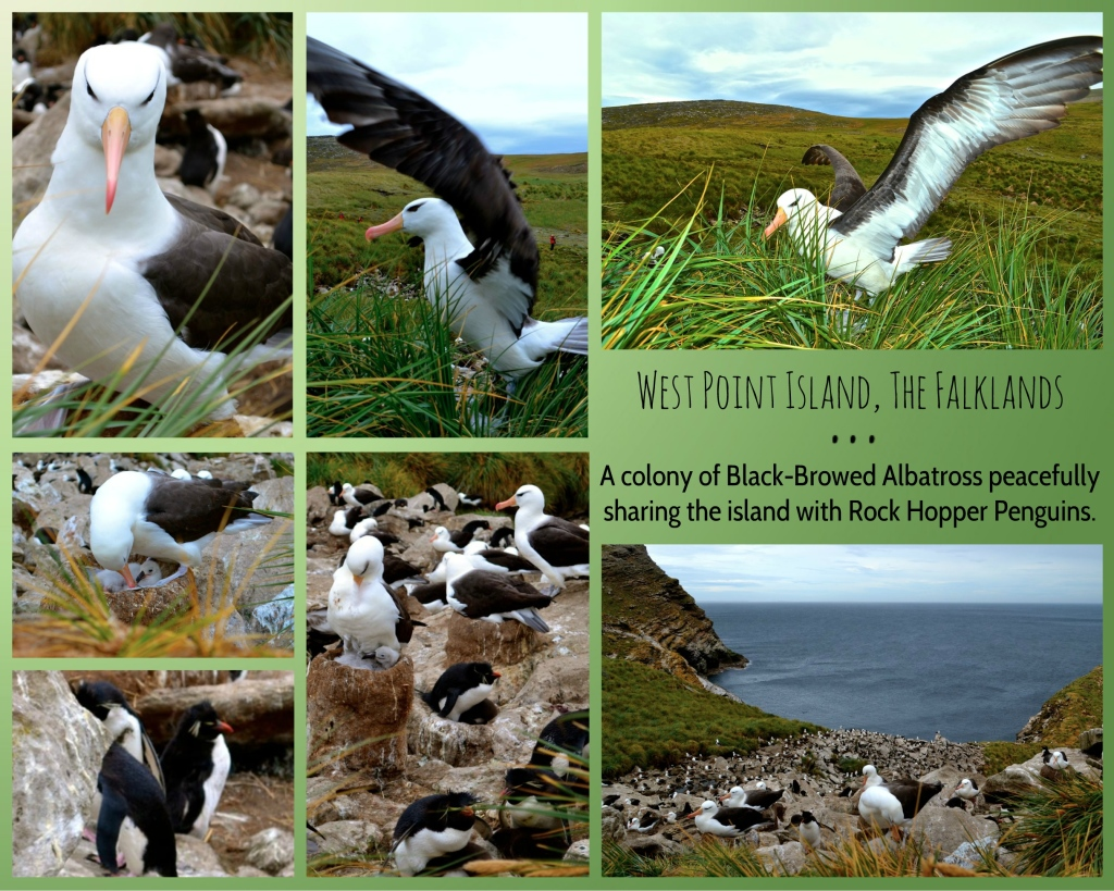 Images captured by Mel Gee Henderson at West Point Island, The Falklands.