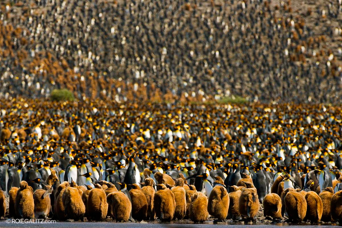 King Penguins as far as the eye can see.