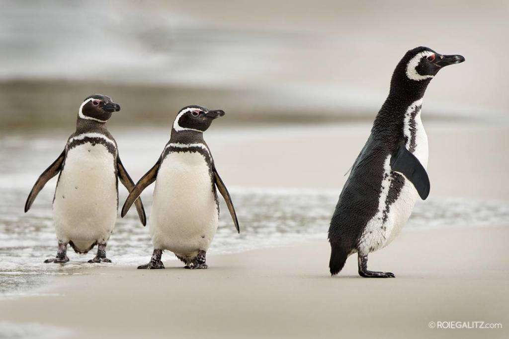 Magellanic Penguins on the Falkland Islands. [Image by Roie Galitz]
