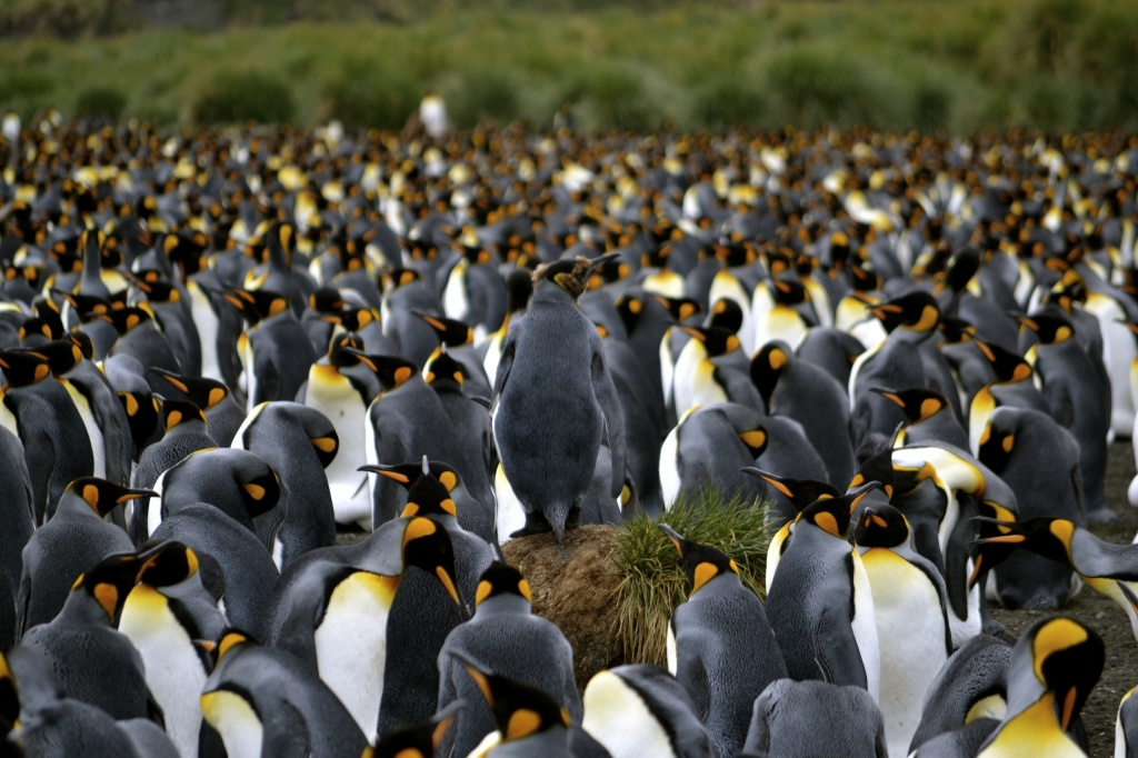 250,000 breeding pairs of King Penguins as far as the eye can see.