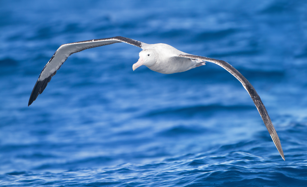 The wandering albatross, snowy albatross, white-winged albatross or goonie (Diomedea exulans) is a large seabird from the family Diomedeidae, which has a circumpolar range in the Southern Ocean.