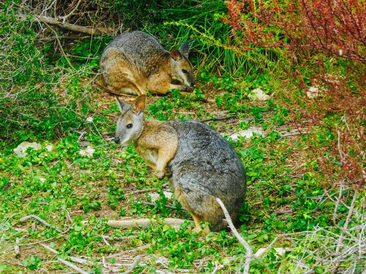 "Our first wildlife sighting shortly after arriving at Kangaroo Island: #wondrouswallaby (I couldn't resist the hashtag and alliteration) The name ""wallaby"" comes from Dharug 'walabi' or 'waliba'.  Young wallabies are known as ""joeys"", like many other marsupials. Adult male wallabies are referred to as bucks, boomers, or jacks. An adult female wallaby is known as a doe, flyer, or jill.  A group of wallabies is called a court, mob, or troupe. [Moment captured by ESCAPESEEKER photog, Jim Jones]"